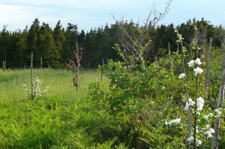 Quelques arbres du verger en fleurs