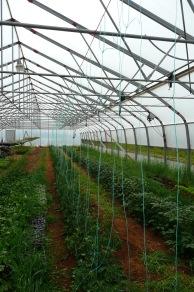 On accroche les plants de tomates