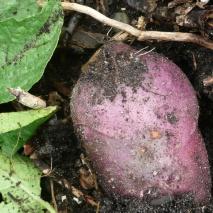 Pomme de terre Caribe